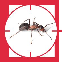 pest-ant