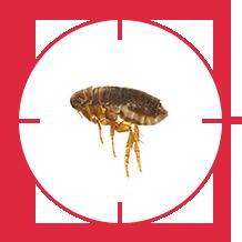 pest-flea