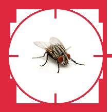 pest-fly