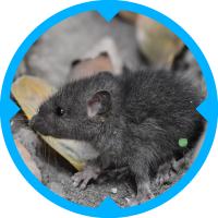 Mice Pest Control Services