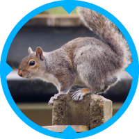 Grey Squirrel Pest Control Services