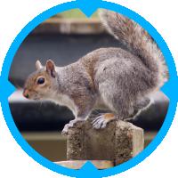 Grey Squirrel Pest Control Services
